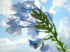 Sunshine 23: Lite-Blue Flowers by richardxthripp