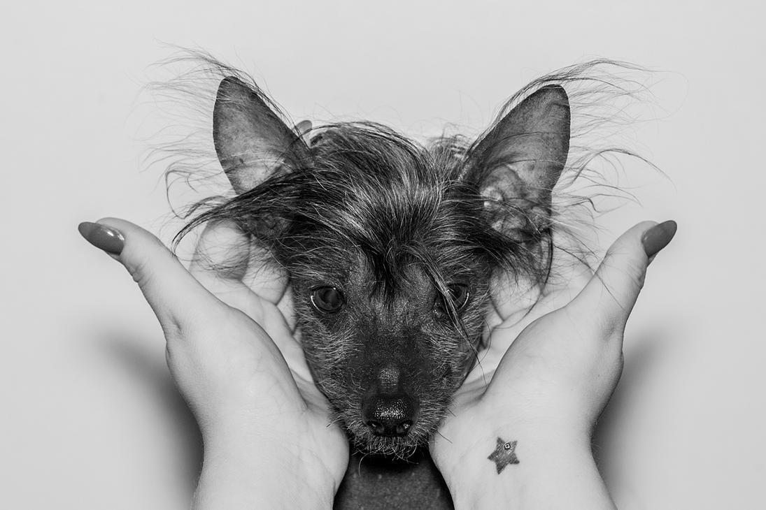 Shogun - Chinese Crested Dog by Soczi