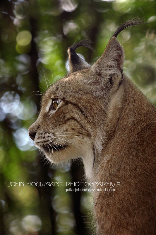 A Lynx Profile by guitarjohnny