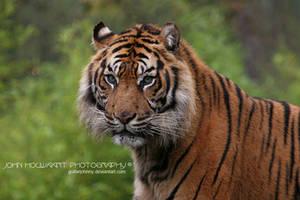 Sumatran Tiger by guitarjohnny