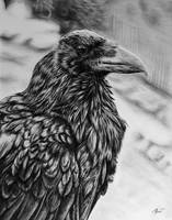 Raven by kornrad