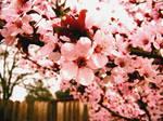 Cherry in Cherry Blossom