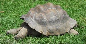 Tuckered Out Tortoise