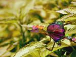 rainbow fairy dragon