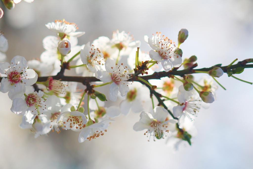 Blossoms 4 by wfpronge
