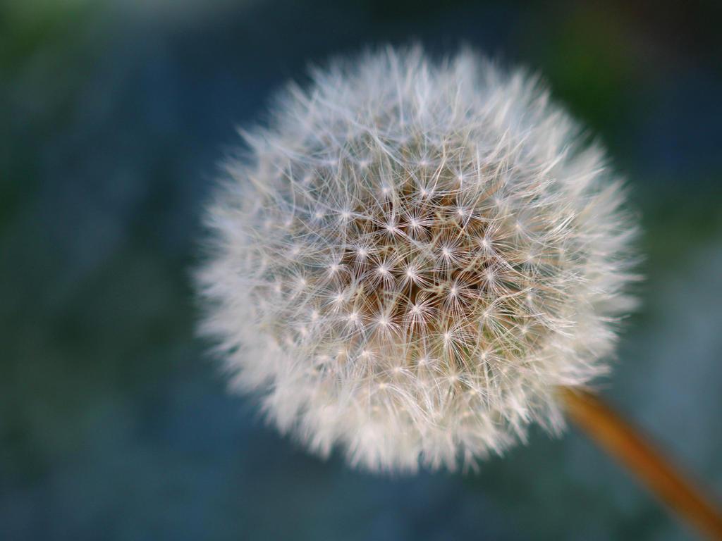 Dandelion by wfpronge