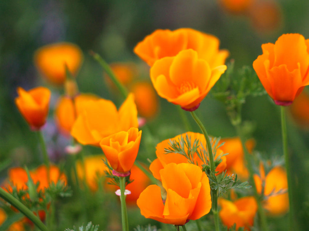 California poppys by wfpronge