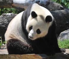 Panda 5 by HymnsStock