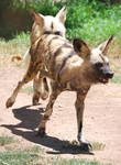 African Wild Dog Stock 1