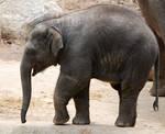 Baby Elephant stock 2