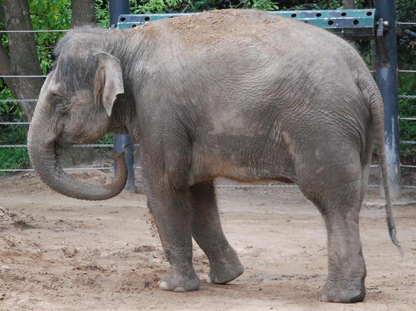 Elephant stock 2
