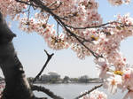 Japanese Cherry Blossom 3