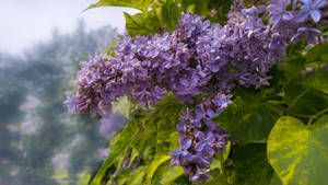 The Lilacs by SerenAletheia