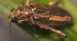 Leaf Beetle Close-up
