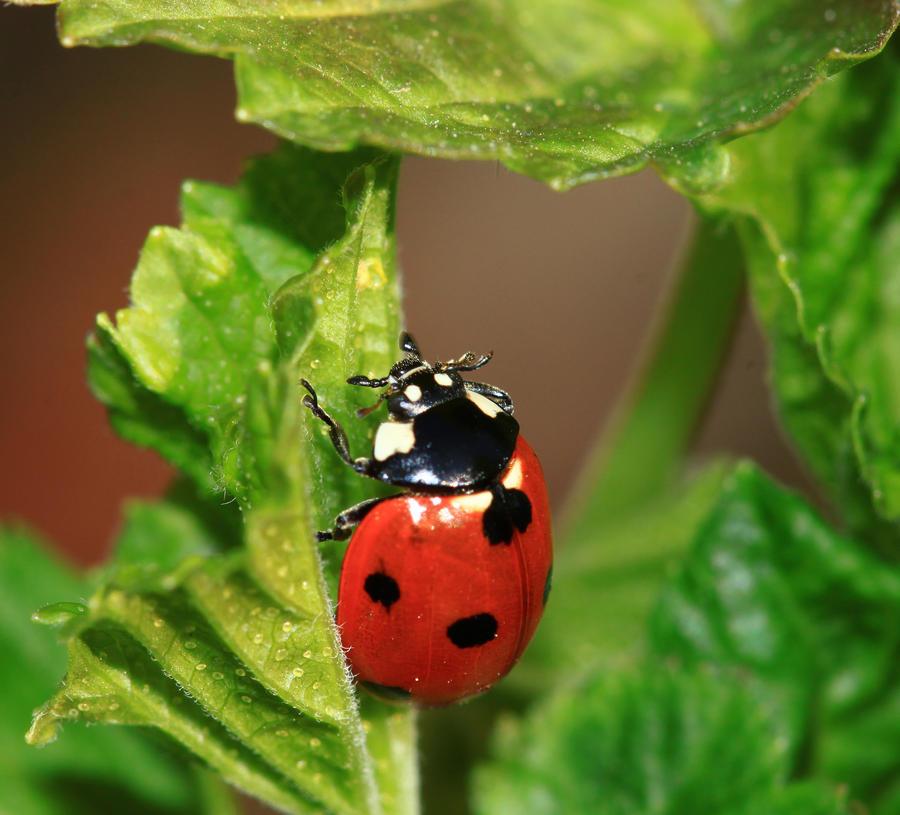Ladybug by chtijerome