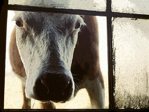 cow in the barn window