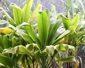Hawai'i - rain in the leaves