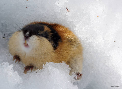 Angry lemming 5