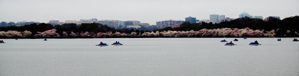 Cherry Blossoms by nerdygirl82