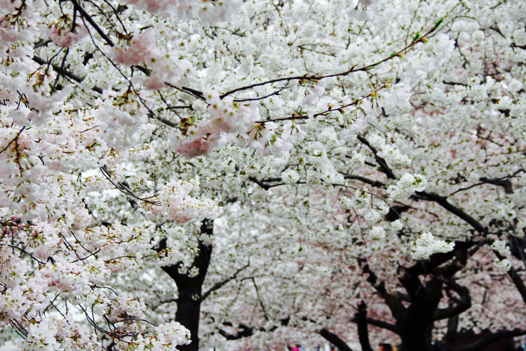 Soo many cherry blossoms...so little time. by nerdygirl82