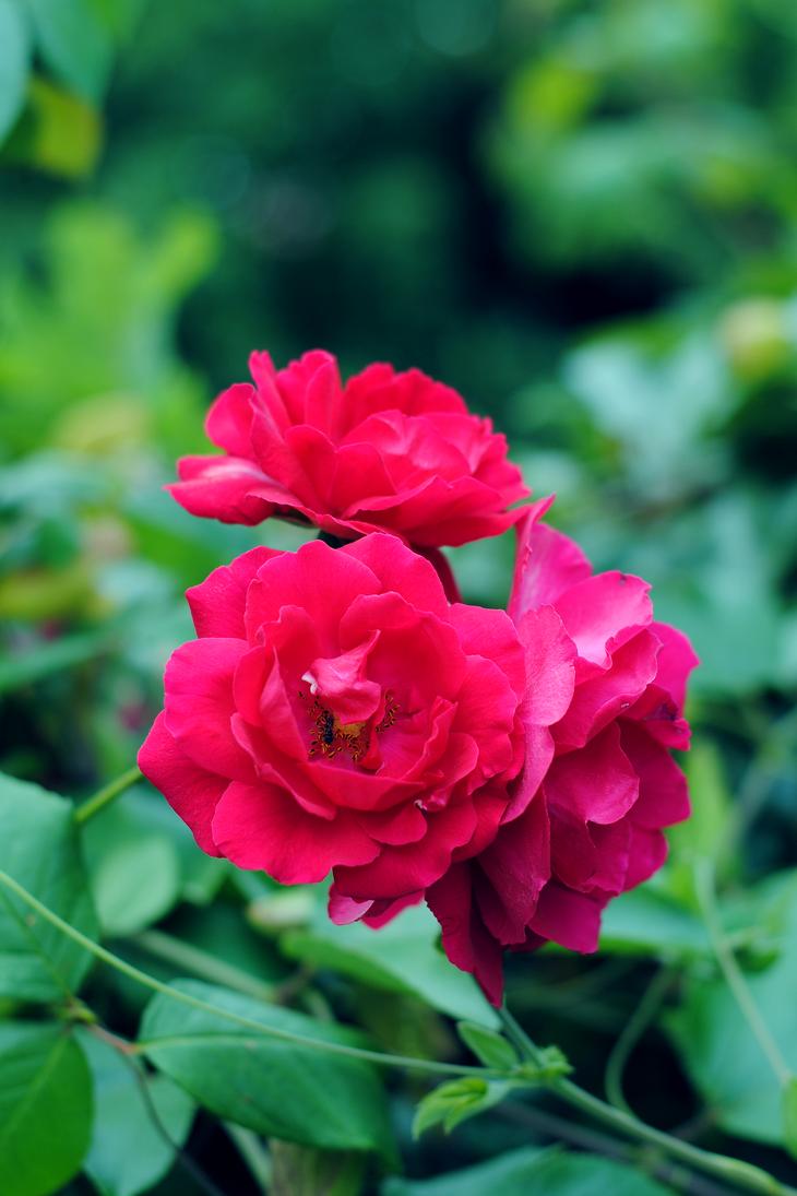 Tres Rosas by elminino