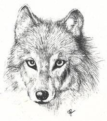 Wolf Sketch by LilyNBlue