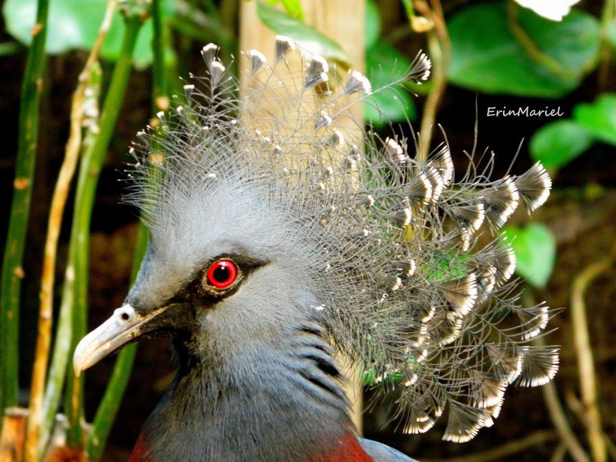 Victoria Crowned Pigeon by ErinMariel