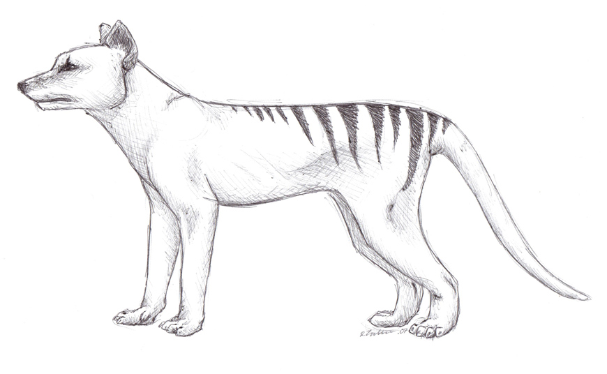 thylacine in pen by azerane traditional art drawings animals 2007