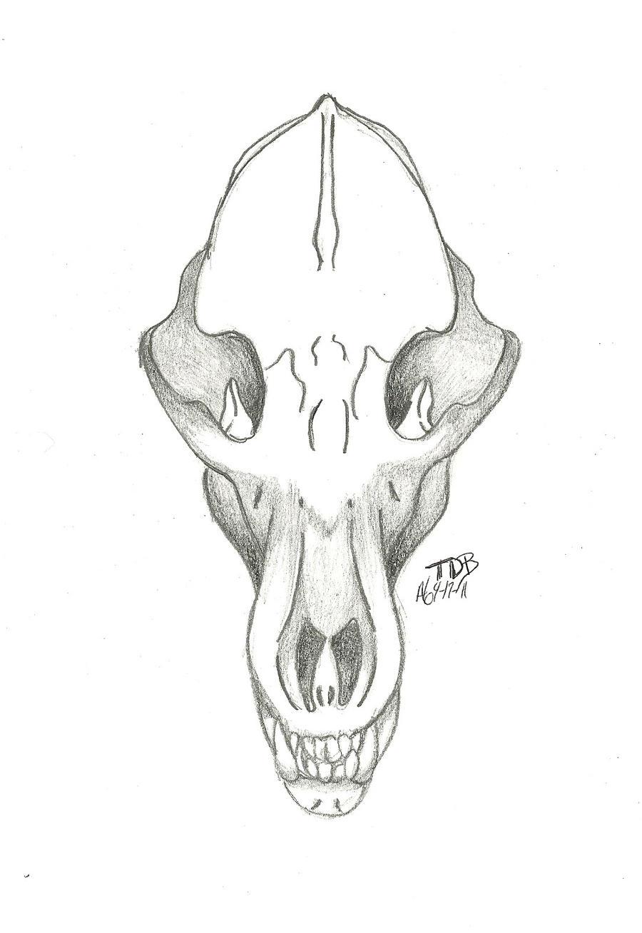 Bear Skull Drawing Bear Skull study sketc...