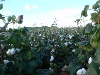 In a cotton field by BldngHrtCnsrvtv