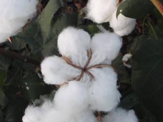 Texas Cotton 2 by BldngHrtCnsrvtv