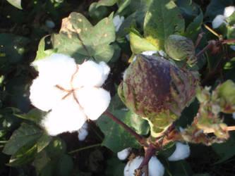 Texas Cotton 3 by BldngHrtCnsrvtv