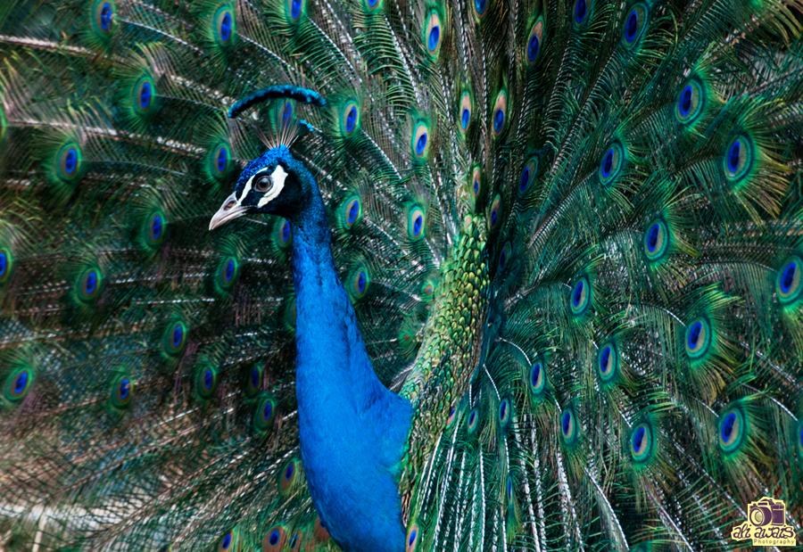 Peacock by aliawais