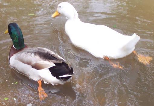 Ducky Love