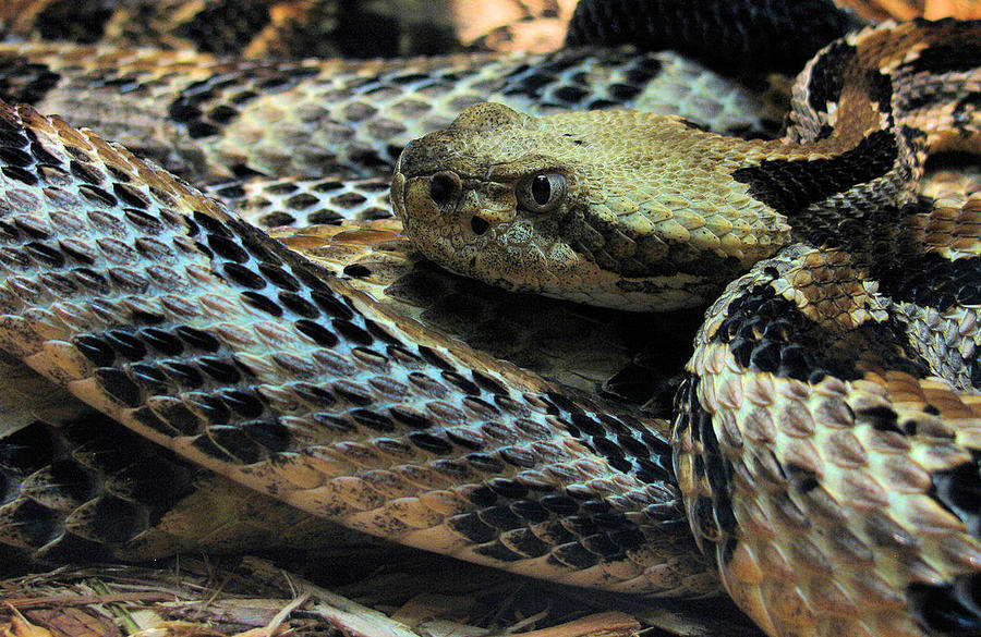 Canebrake Rattlesnake by Painted-Nightmares