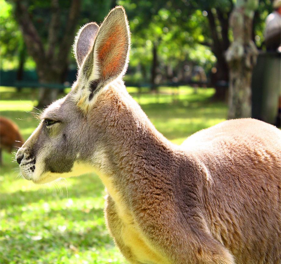 Kangaroo by aleszev