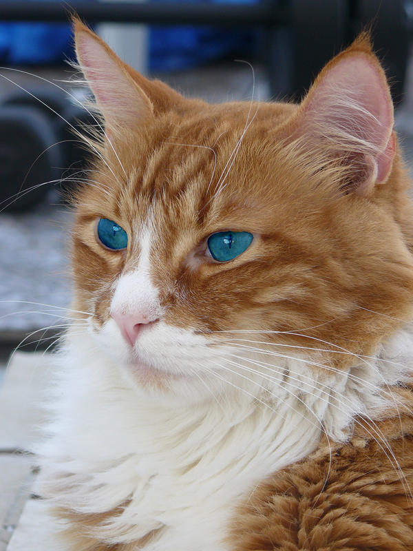Orange And White Cat With Blue Eyes | www.pixshark.com ...