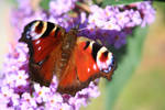 Nature Stock - Butterfly04