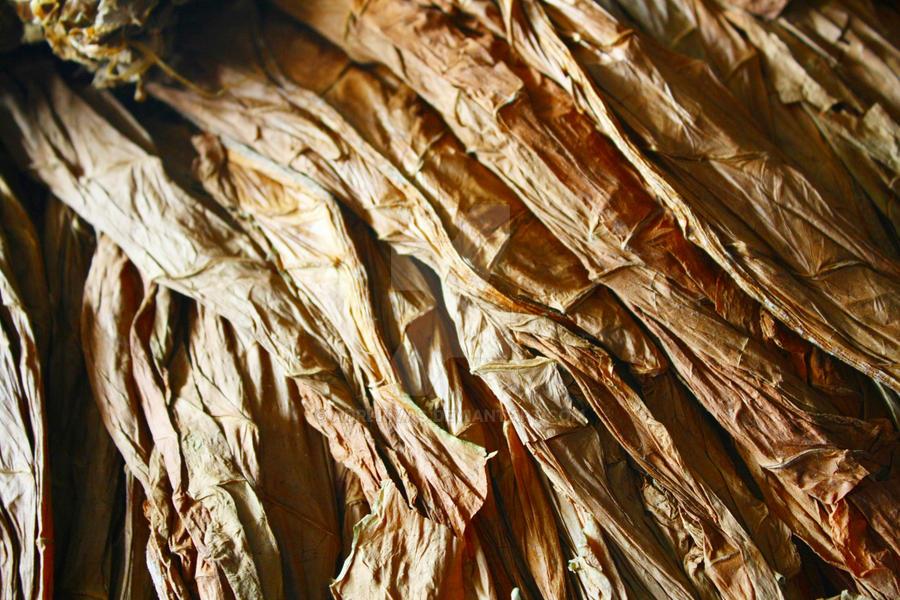 Hojas de tabaco secas II by adri-rivas