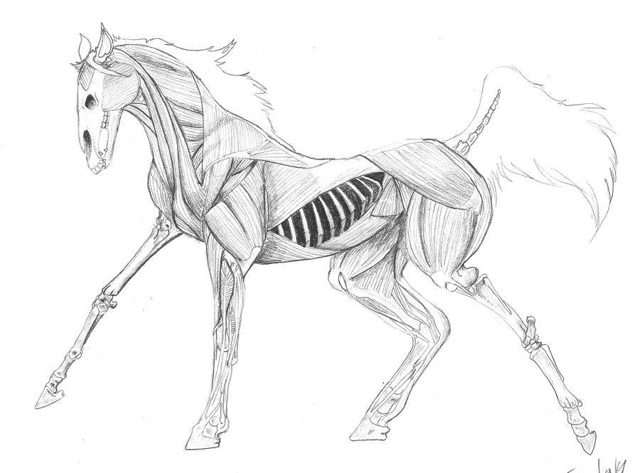 Horse Internal Anatomy Study by Jaestring on DeviantArt