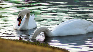 Swans Feeding 3 Stock