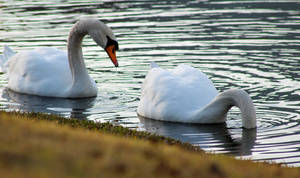 Swans Feeding 4 Stock