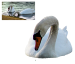Swan Feeding Png Stock