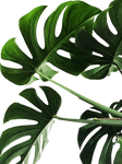 Behind the Leaves Png Stock
