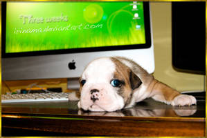 Three weeks of English Bulldog -Titania by irinama