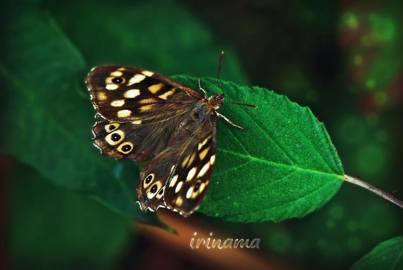 La farfalla by irinama