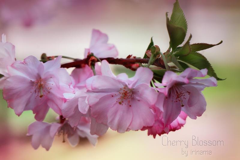 Cherry Blossom by irinama