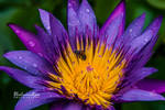 Water Lily and the Bee