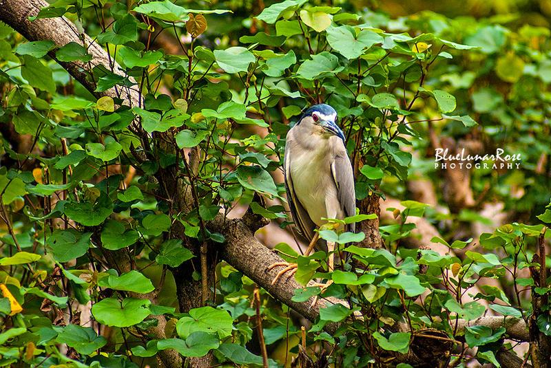 Black-crowned Night Heron by BlueLunarRose