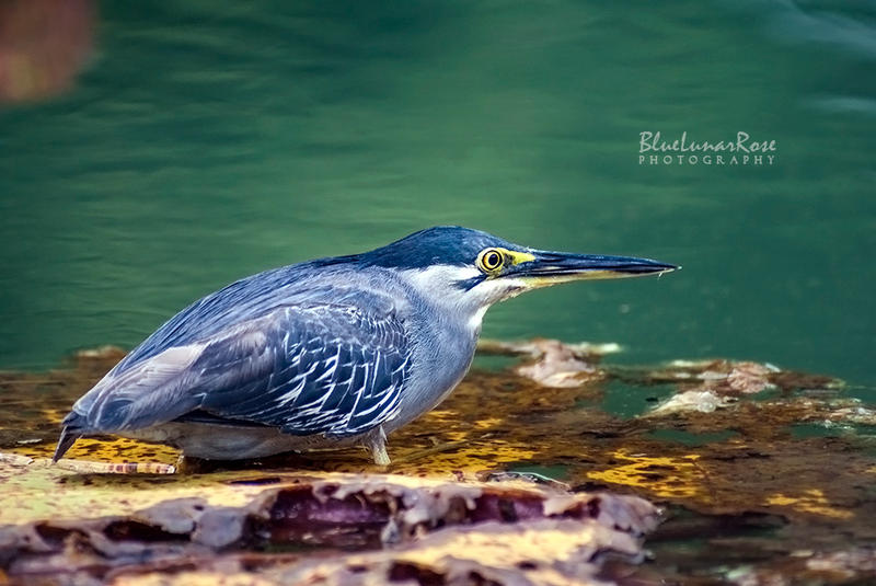Striated Heron by BlueLunarRose